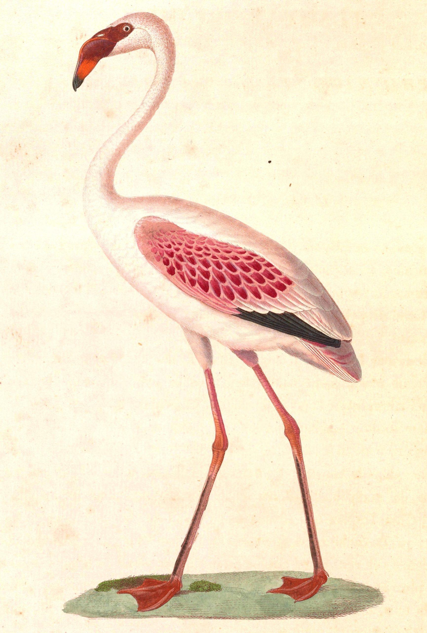 File:phoeniconaias Minor 1838 - Wikimedia Commons dedans Pixel Art Flamant Rose