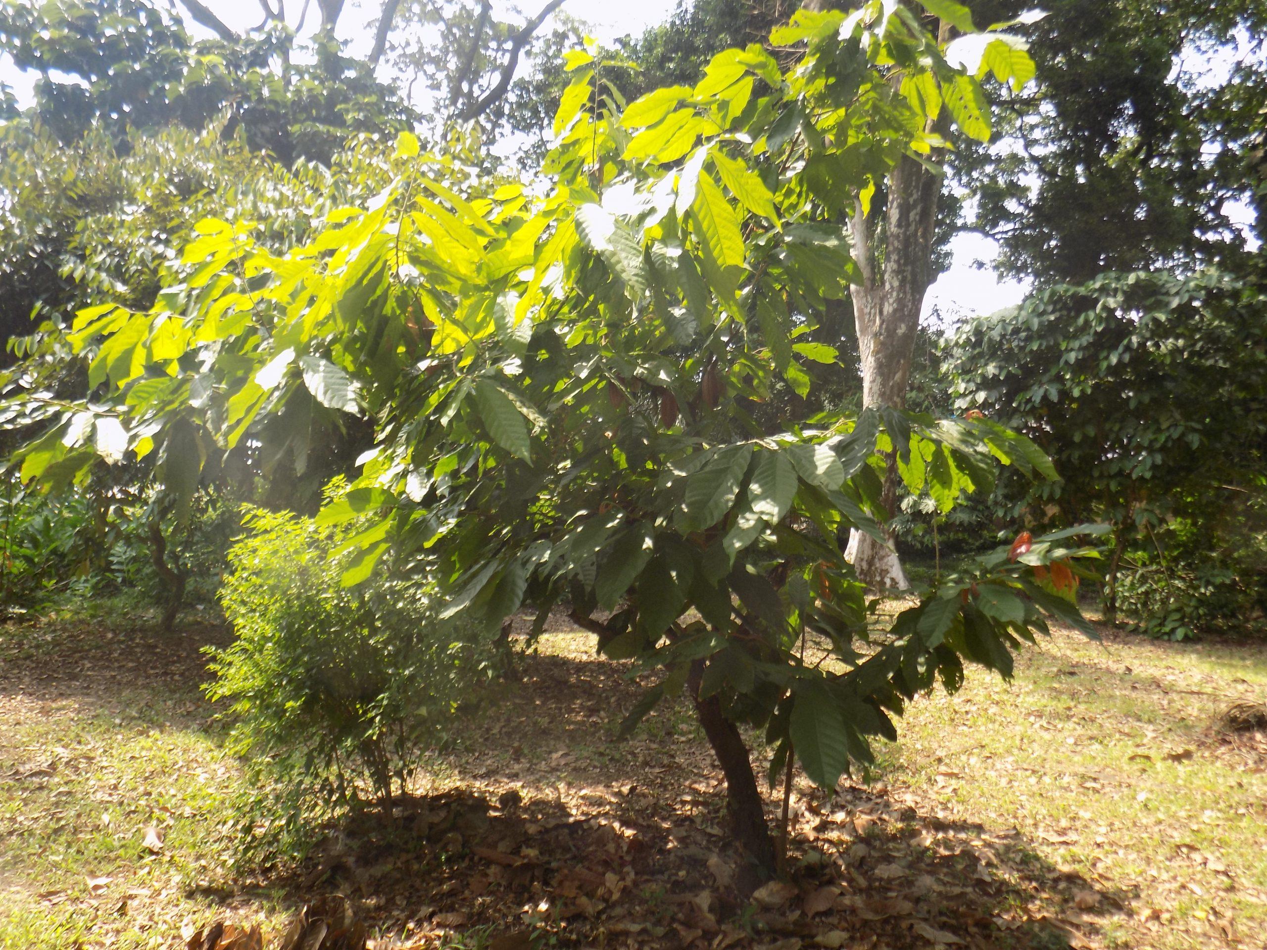File:theobroma Cacao Arbre 2 - Wikimedia Commons concernant Arbre A Taupe