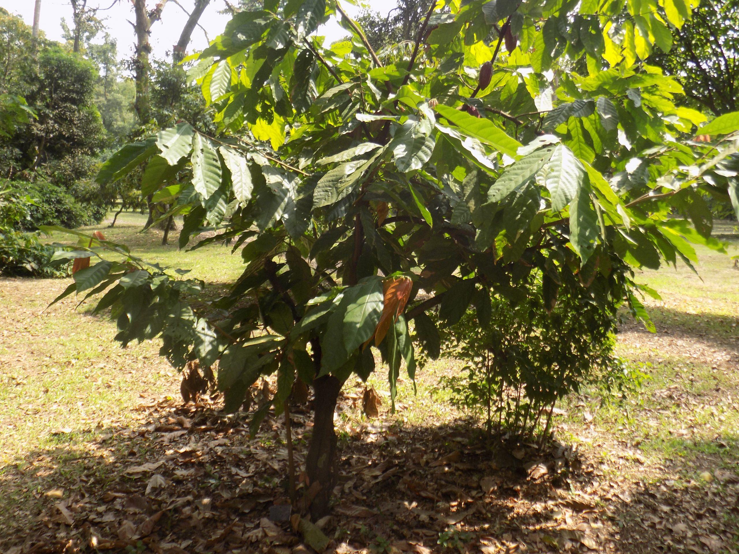 File:theobroma Cacao Arbre - Wikimedia Commons concernant Arbre A Taupe