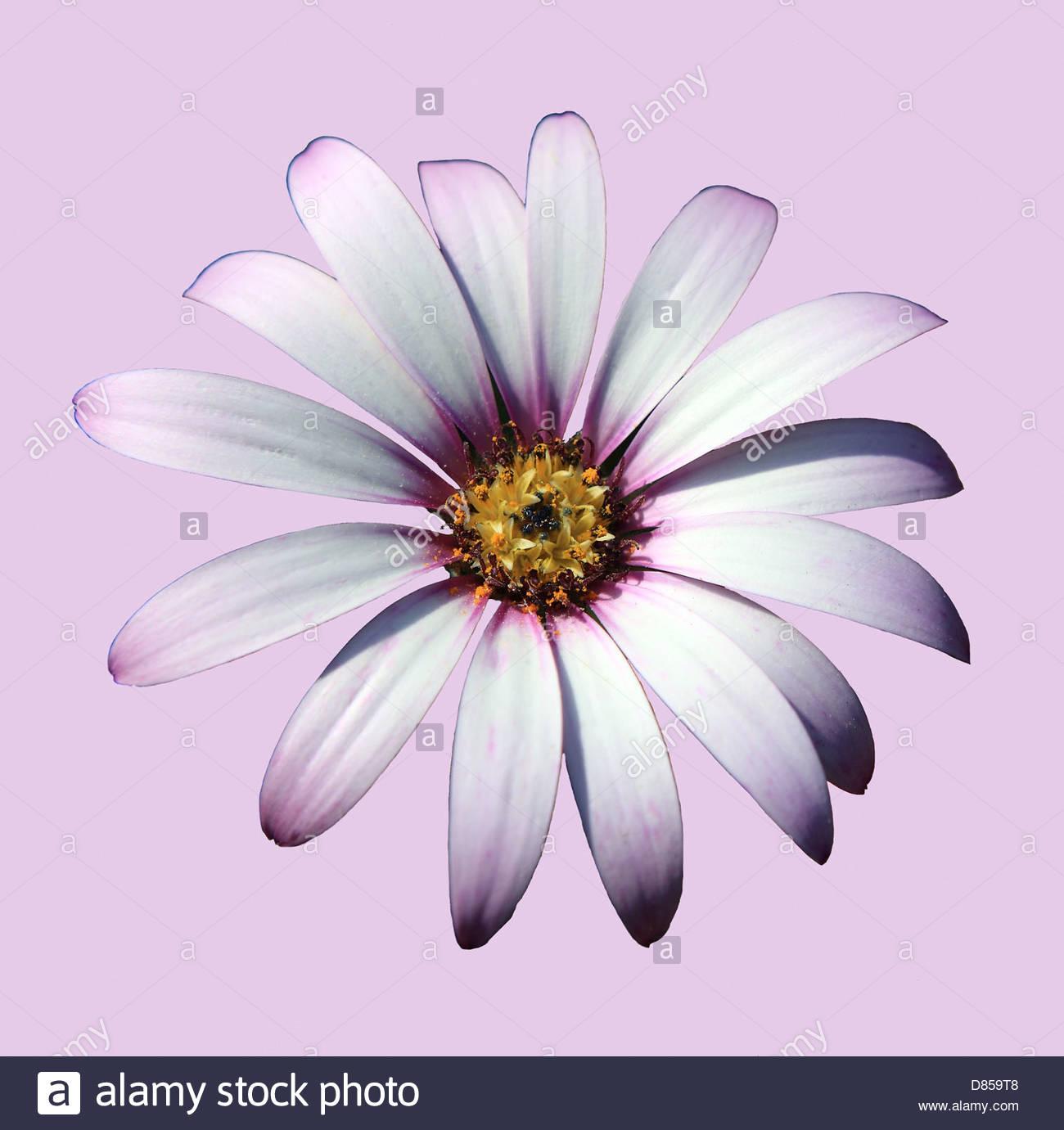 Fleur Osteospermum Découper Sur Fond Lilas Banque D'images intérieur Fleurs À Découper