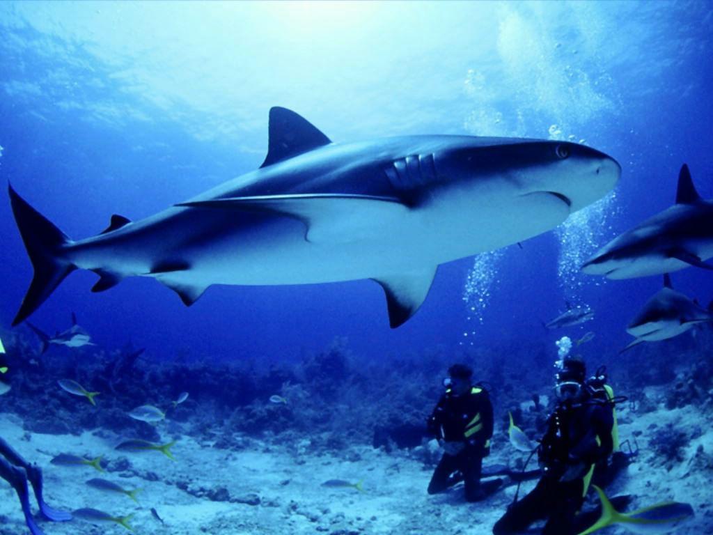 Fond D'écran Requin Gratuit Fonds Écran Requins Animaux Squales encequiconcerne Requin Jeux Gratuit
