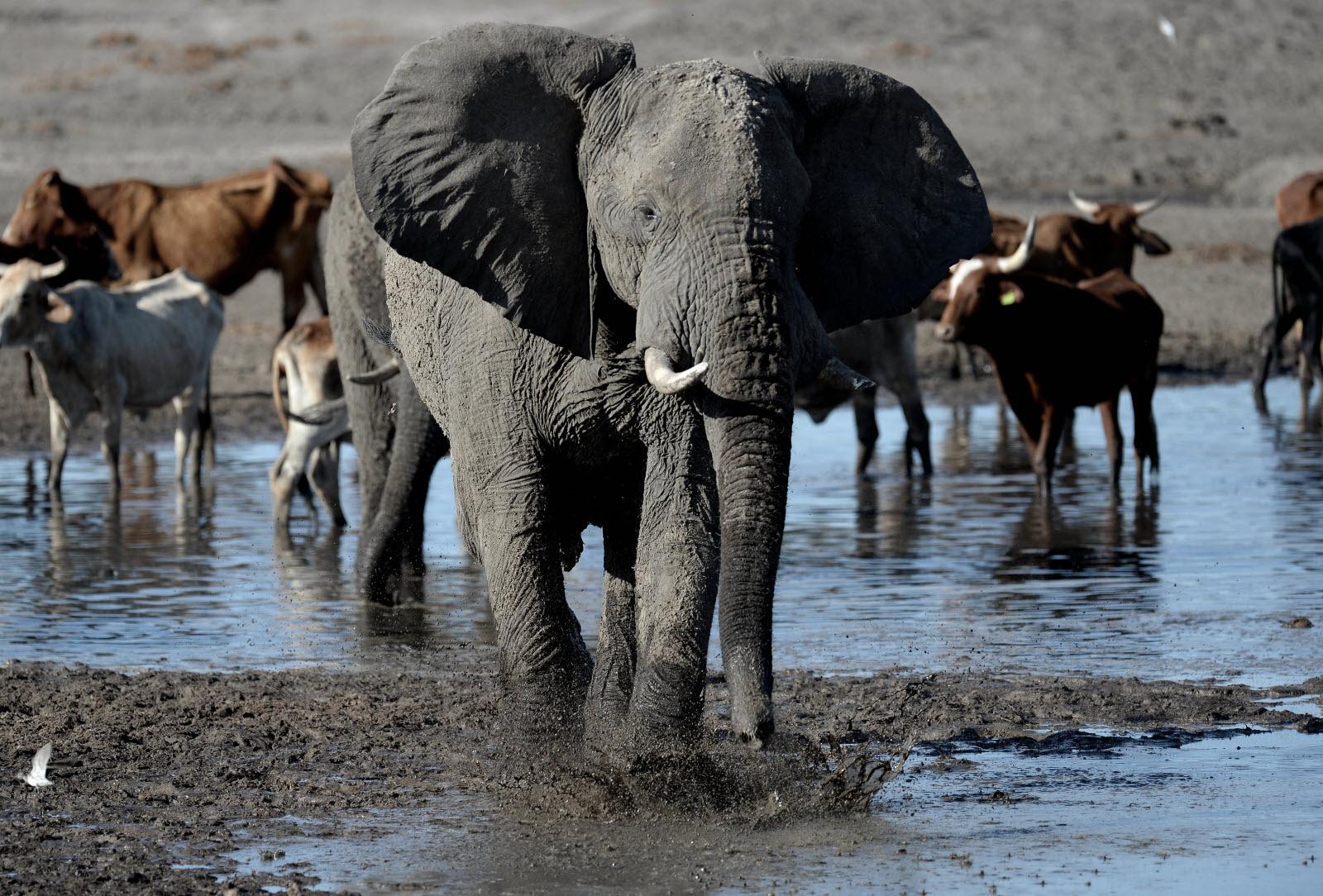 France-Monde | Un Éléphant Observé En Liberté Pour La serapportantà Femelle De L Éléphant Nom