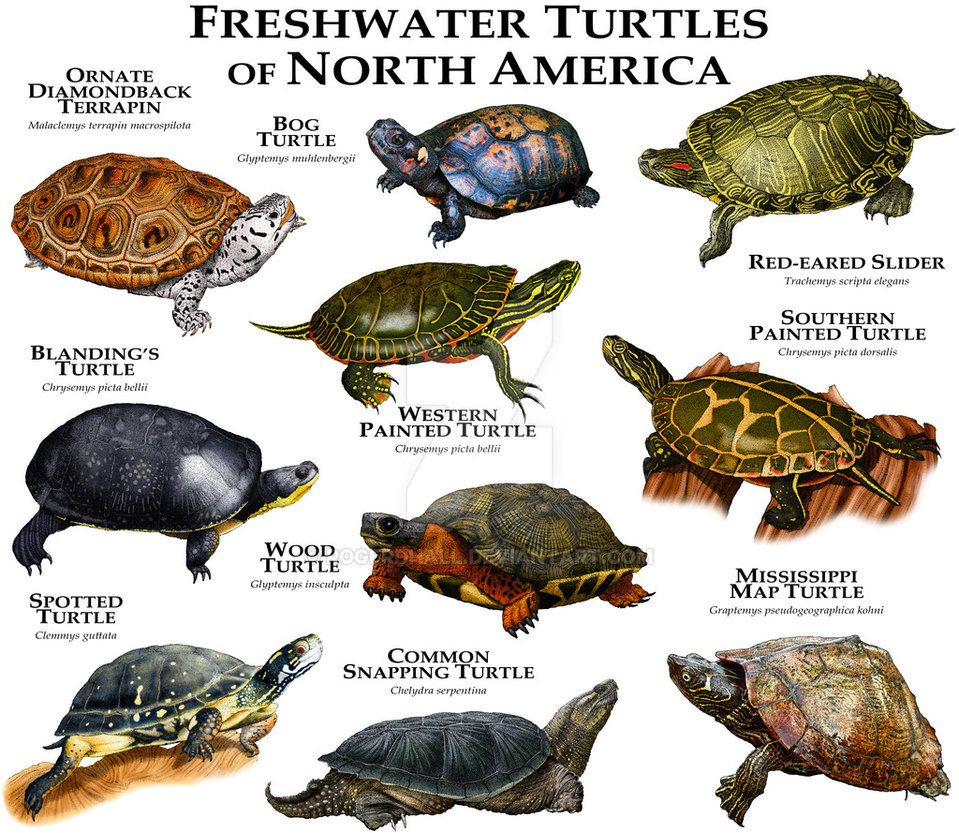 Freshwater Turtles Of North America By Rogerdhall On concernant Animaux Ovipares Liste