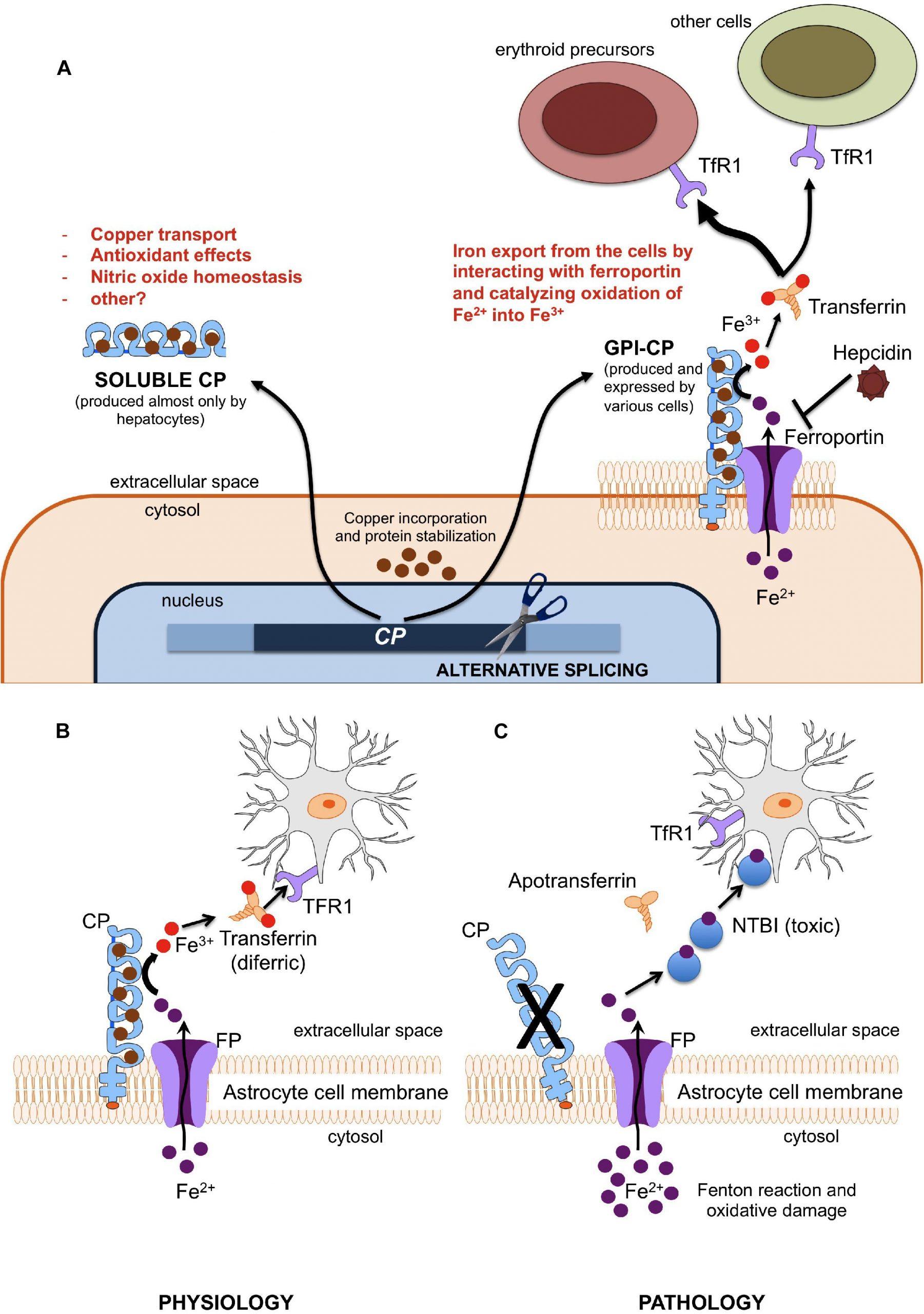 Frontiers | Aceruloplasminemia: A Severe Neurodegenerative pour Reproduction Figure Cp