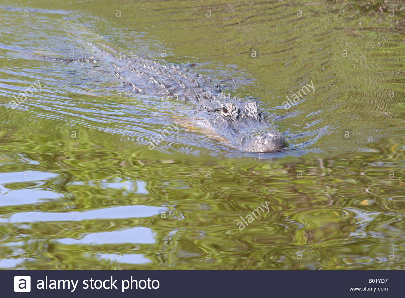 Gater Stock Photos & Gater Stock Images - Alamy pour Mots Gator
