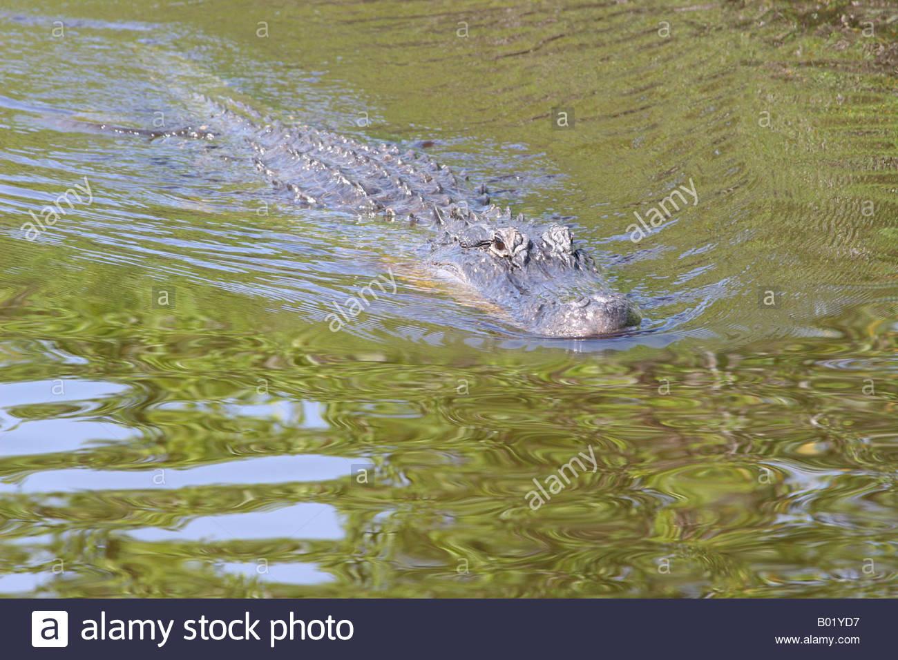 Gater Stock Photos & Gater Stock Images - Alamy pour Mots Gator
