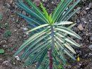 Herbe À Taupe : Planter Et Entretenir – Ooreka à Arbre A Taupe