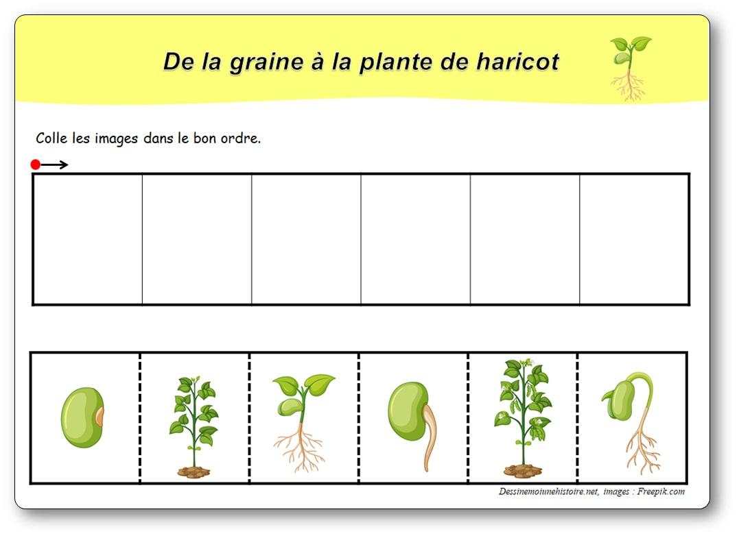 Images Séquentielles : De La Graine À La Plante De Haricot encequiconcerne Images Séquentielles À Imprimer