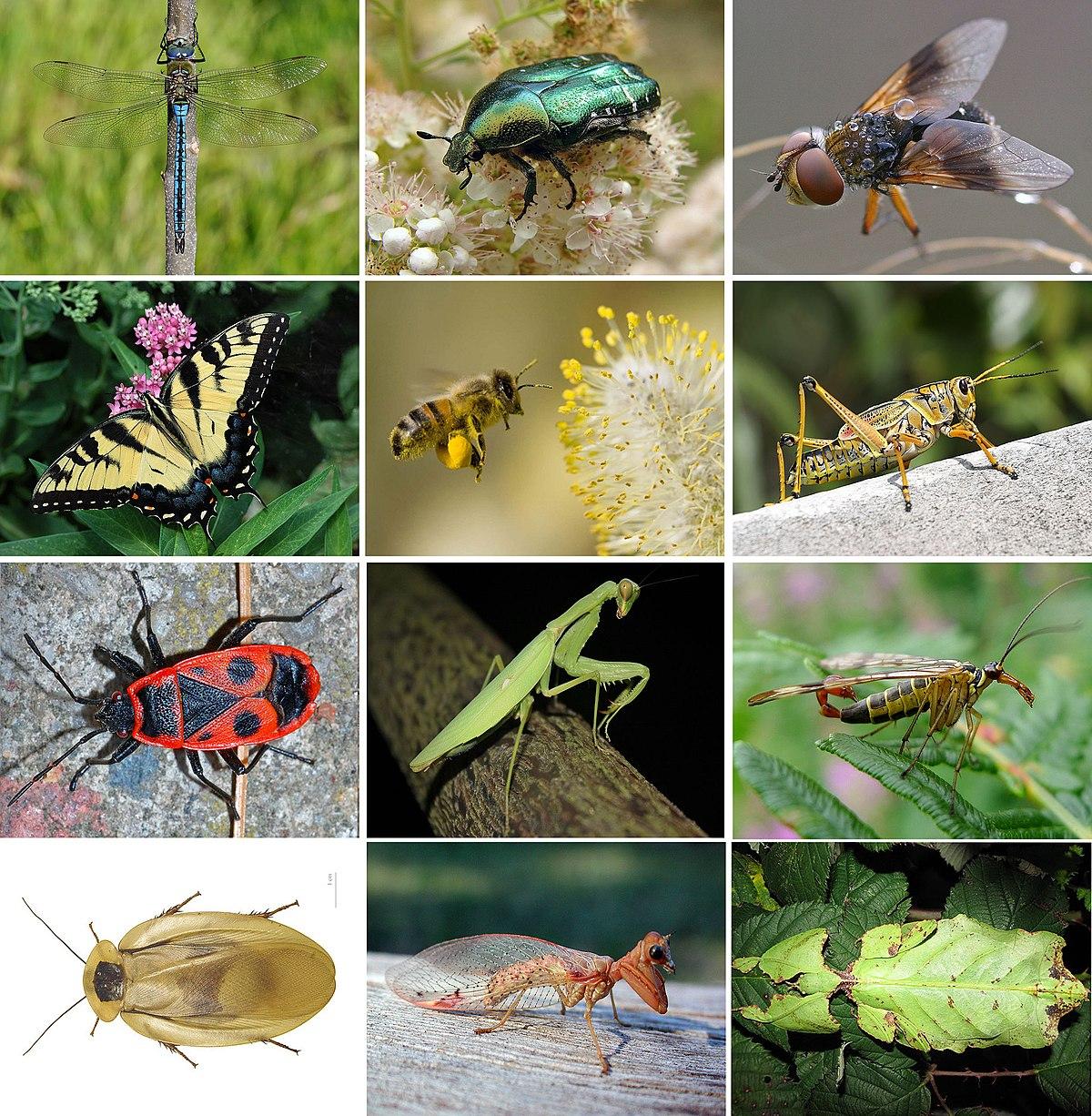 Insecte — Wikipédia avec Animaux Ovipares Liste