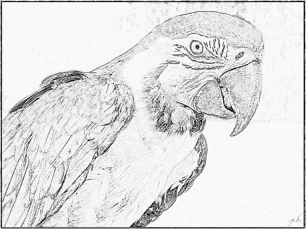 Inspiration Perroquet Coloriage Imprimer avec Perroquet Coloriage A Imprimer