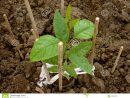 Jeune Arbre De Cendre-Arbre Photo Stock - Image Du Étant concernant Arbre A Taupe