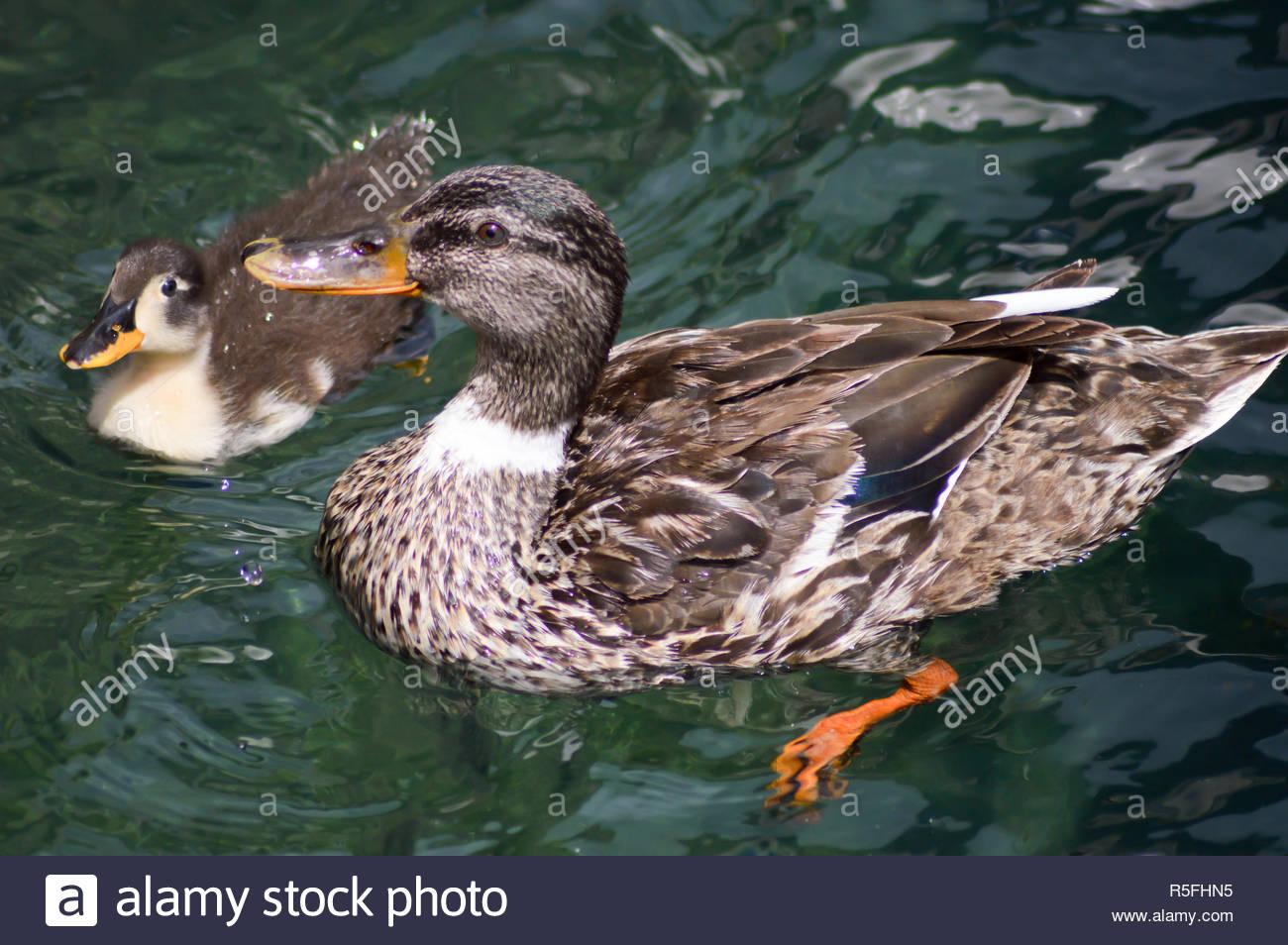 La Canne À Sucre Et De Petit Canard Sur Un Lac De Garde pour Canard Canne