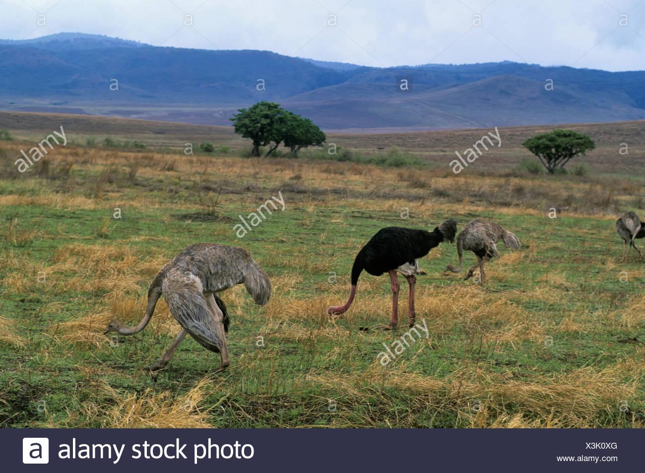 La Tanzanie, Le Cratère Du Ngorongoro, L'autruche, Mâle concernant Male De L Autruche