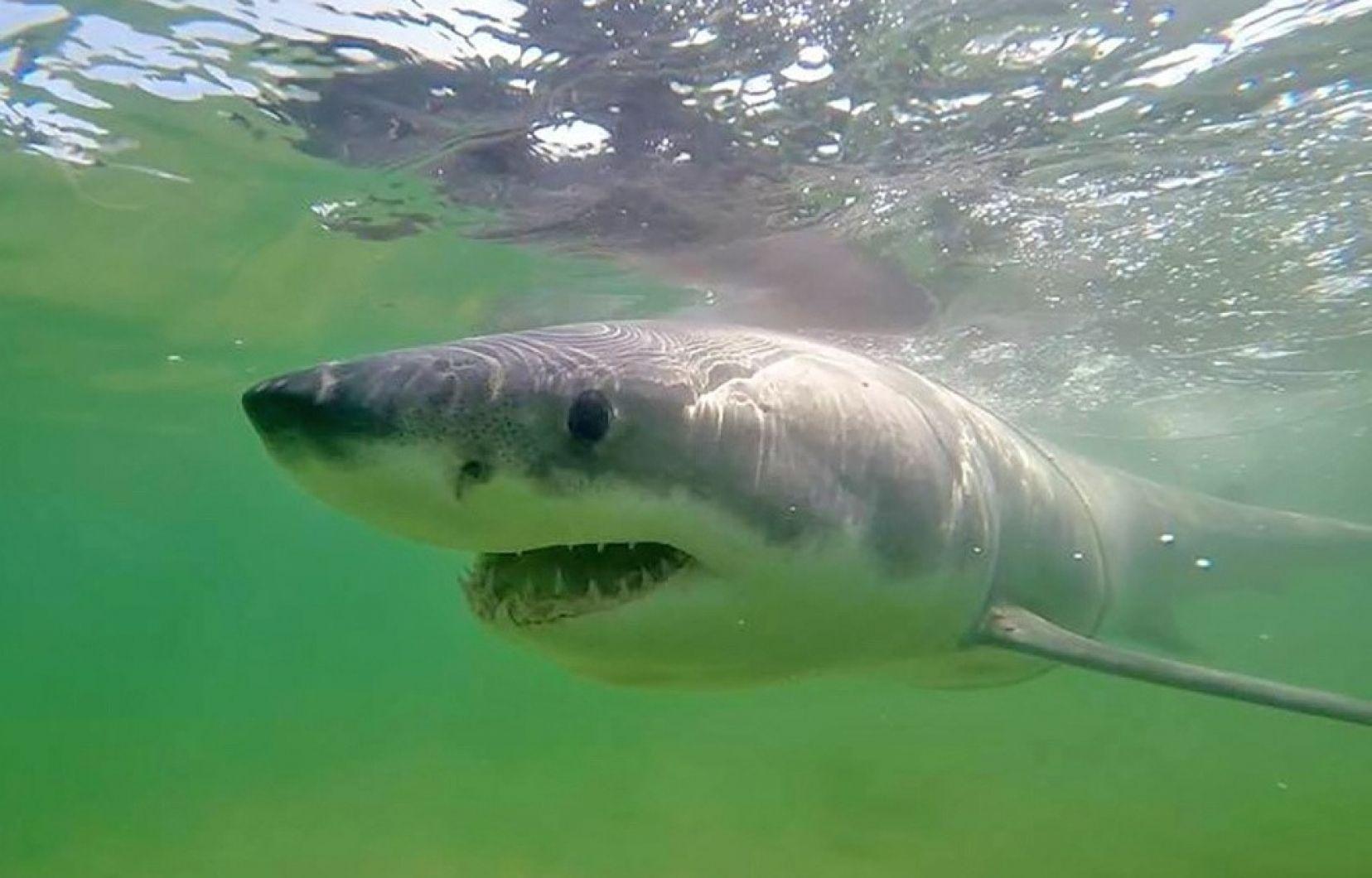 La Vie Secrète Des Grands Requins Blancs | Le Devoir tout Requin Jeux Gratuit