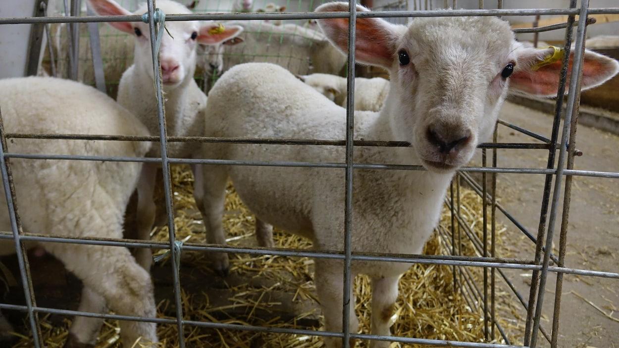 L'agneau, Une Industrie Qui Rêve D'être Aussi Grosse Que Le encequiconcerne Différence Entre Brebis Et Mouton