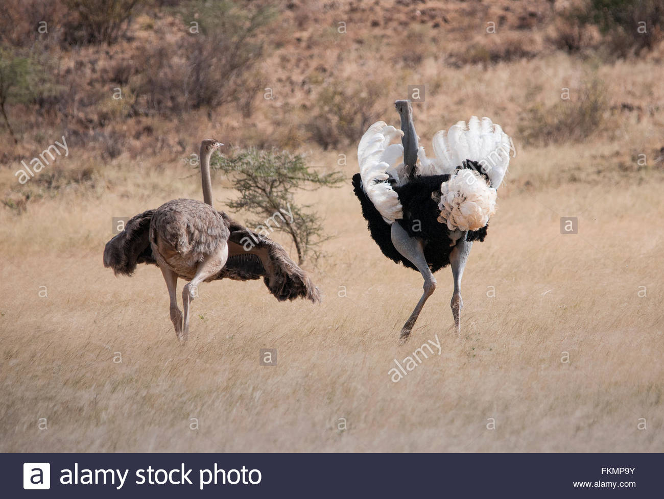L'autruche Somalienne Mâle Et Femelle (Struthio Camelus serapportantà Male De L Autruche