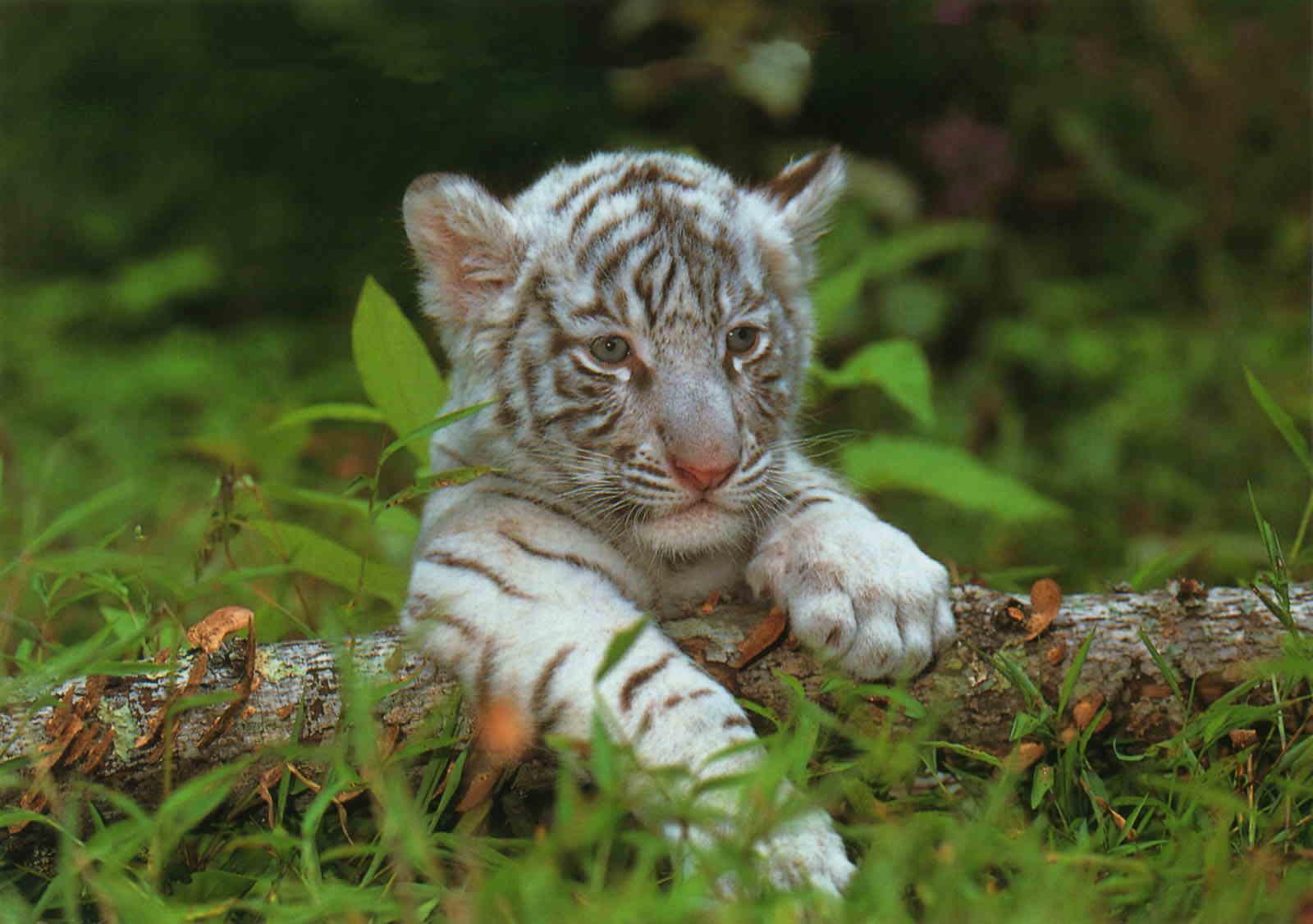 Le Bébé Tigre - Momes tout Coloriage Bébé Tigre
