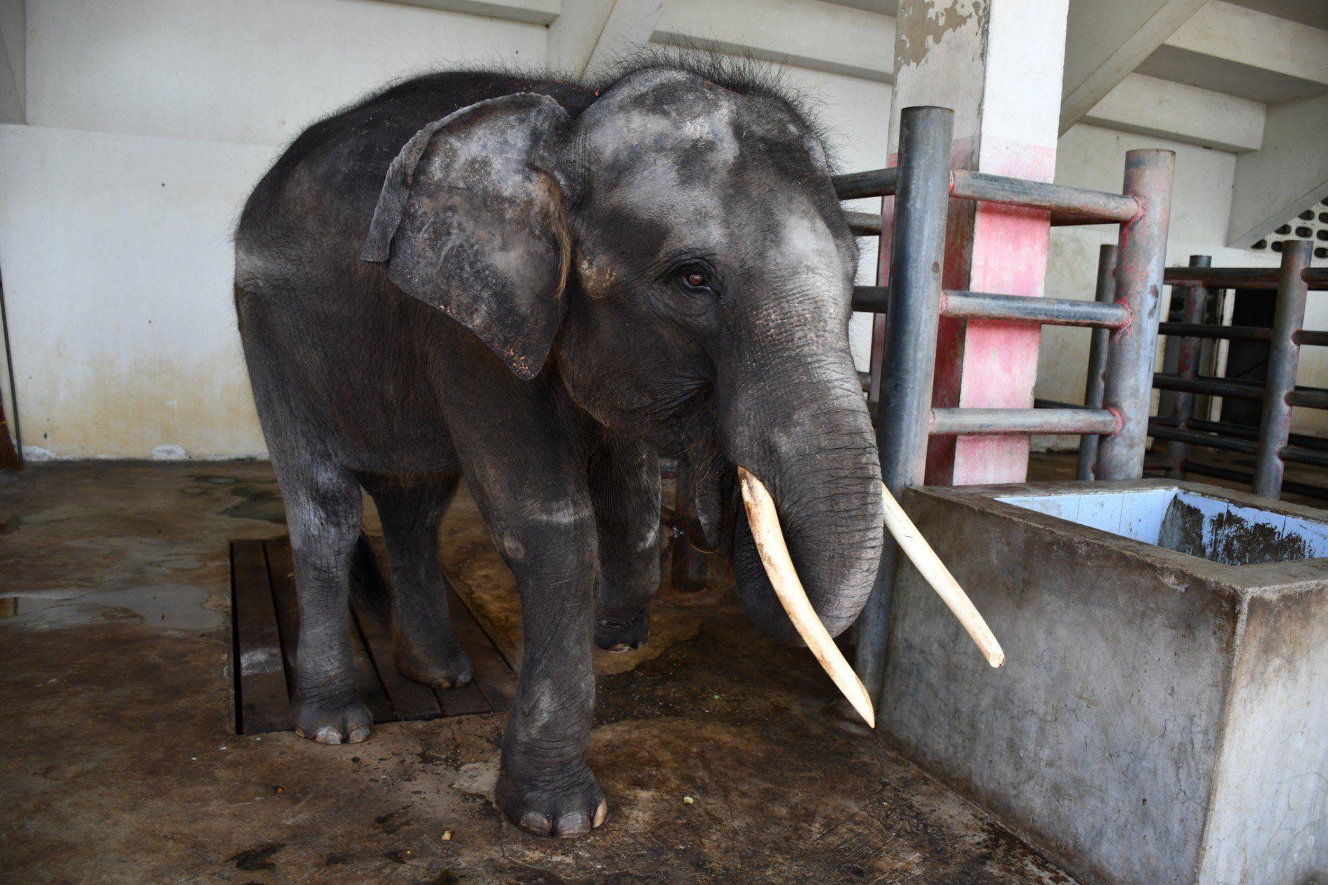 Le Calvaire De Cet Éléphant A Déclenché Une Vague D dedans Femelle De L Éléphant Nom