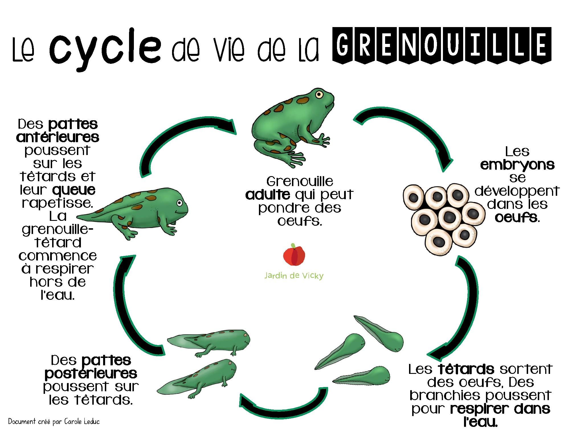 Le Cycle De Vie De La Grenouille | Jardin De Vicky intérieur Cycle De Vie Grenouille
