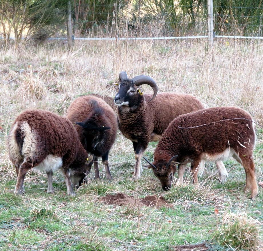 Le Mouton De Soay intérieur Différence Entre Brebis Et Mouton