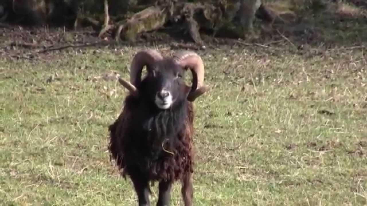 Le Mouton De Soay : Le Bélier Et Son Troupeau destiné Différence Entre Brebis Et Mouton