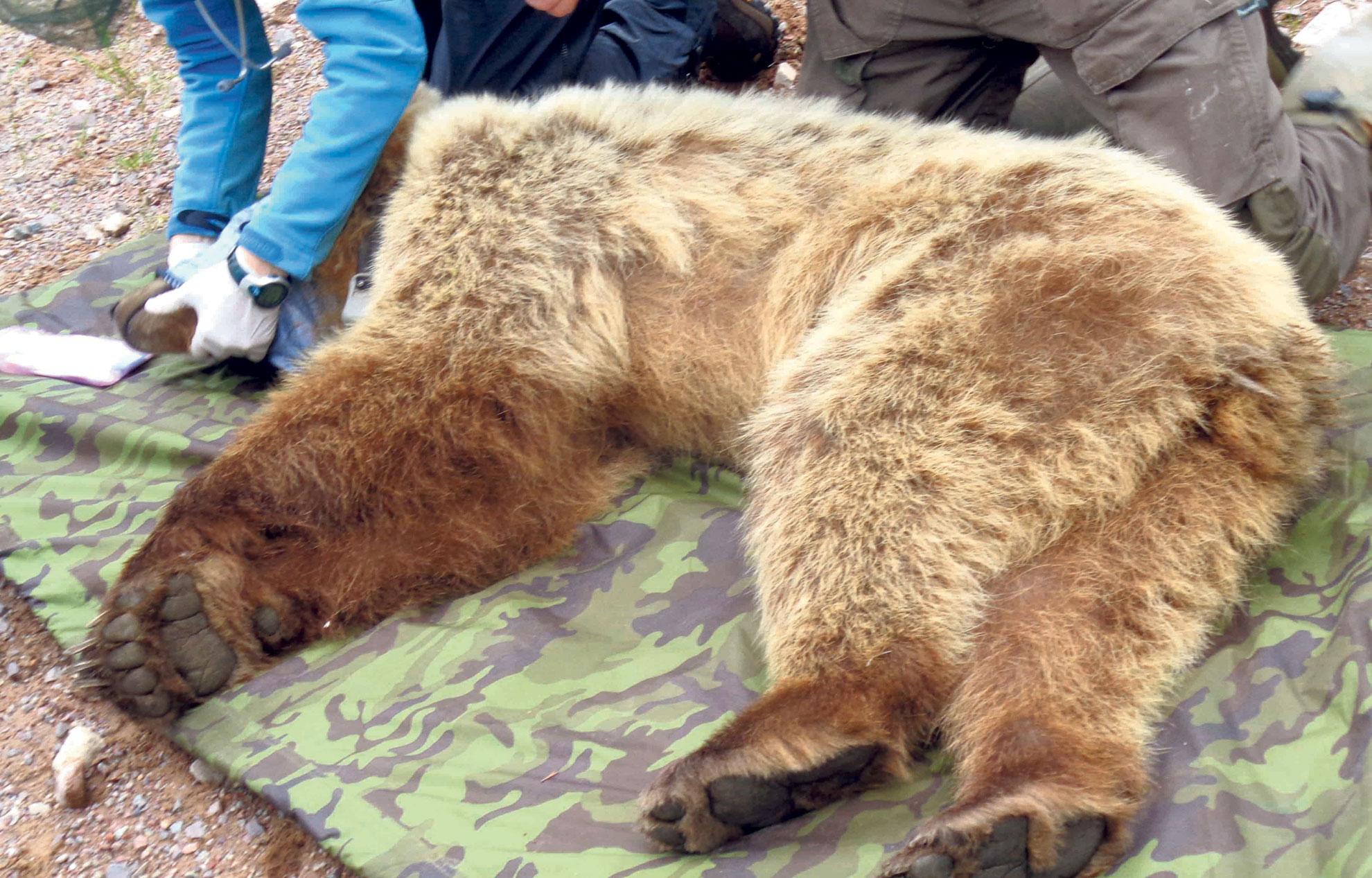 Le Secret D'hibernation De L'ours encequiconcerne Animaux Qui Hivernent