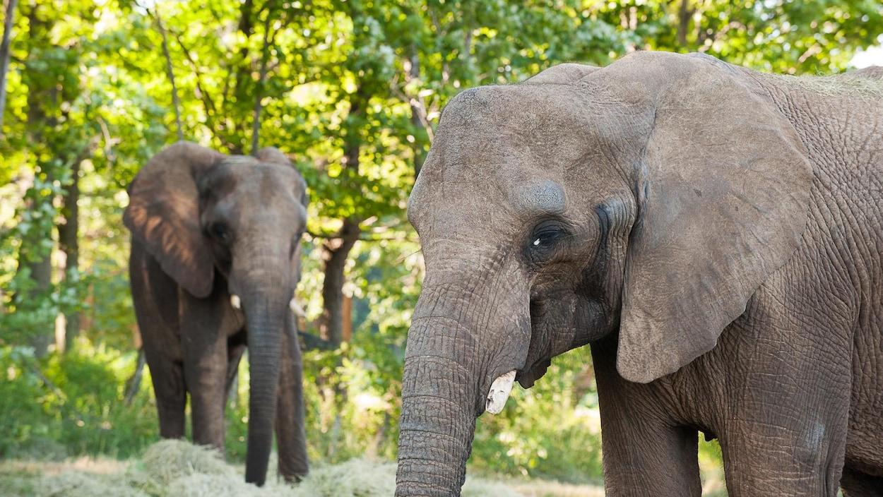 Le Zoo De Granby Accueille Un Nouvel Éléphant | Radio-Canada.ca intérieur Femelle De L Éléphant Nom