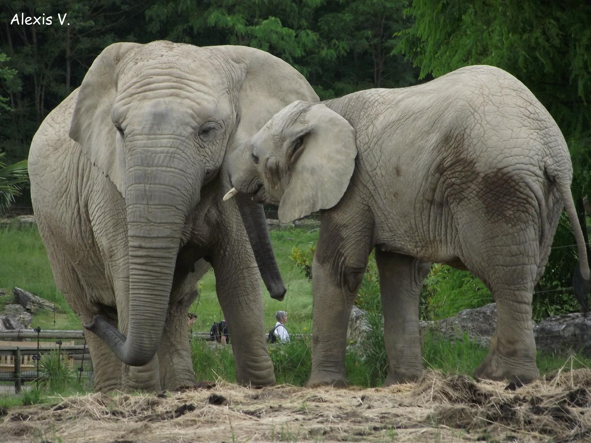 L'eléphant De Savane - Zootographe - Blog Non-Officiel Du dedans Femelle De L Éléphant Nom