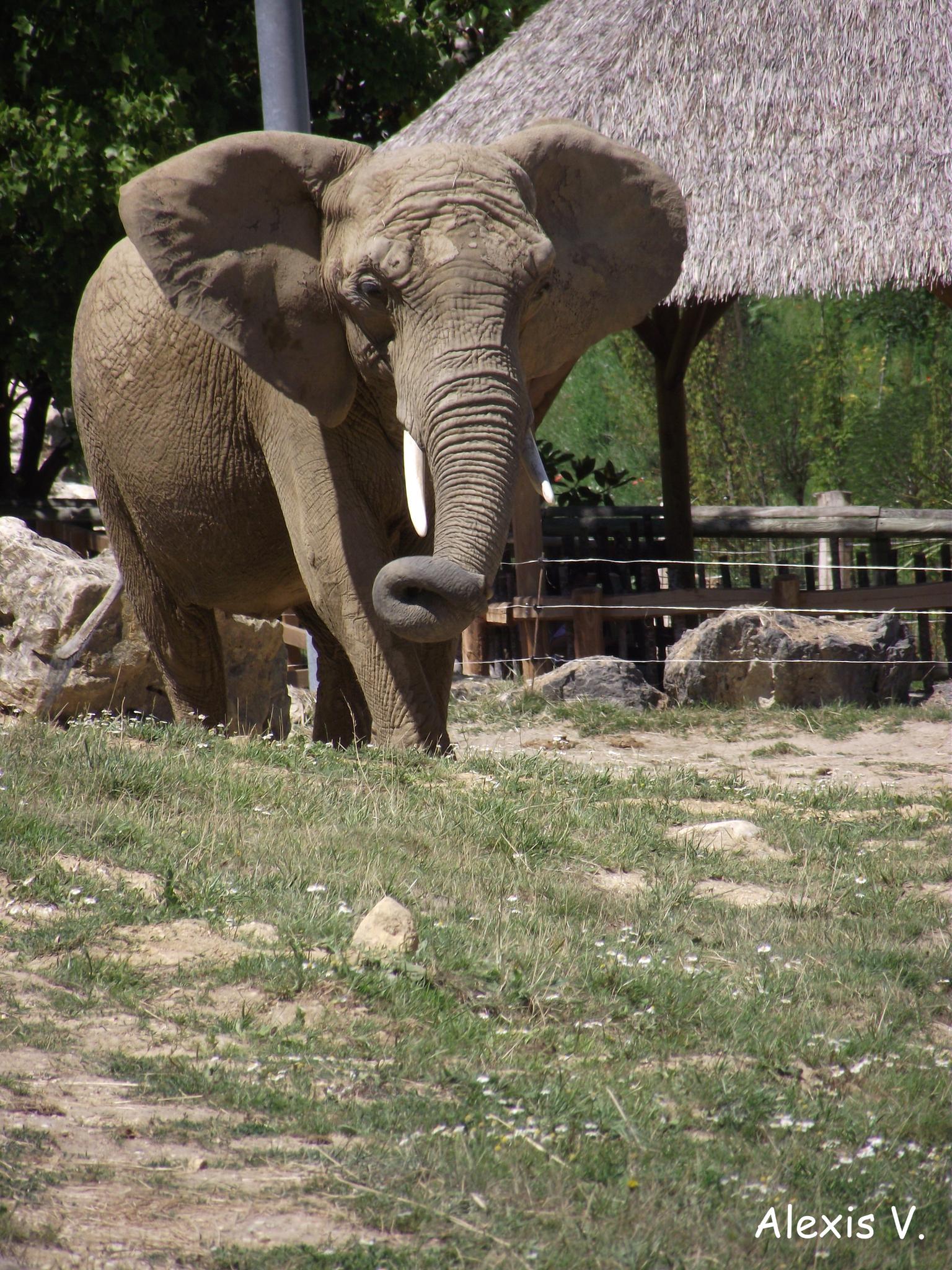 L'eléphant De Savane - Zootographe - Blog Non-Officiel Du destiné Femelle De L Éléphant Nom