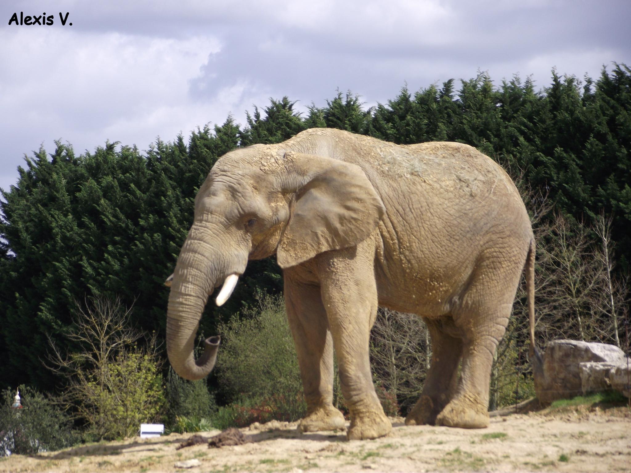 L'eléphant De Savane - Zootographe - Blog Non-Officiel Du tout Femelle De L Éléphant Nom