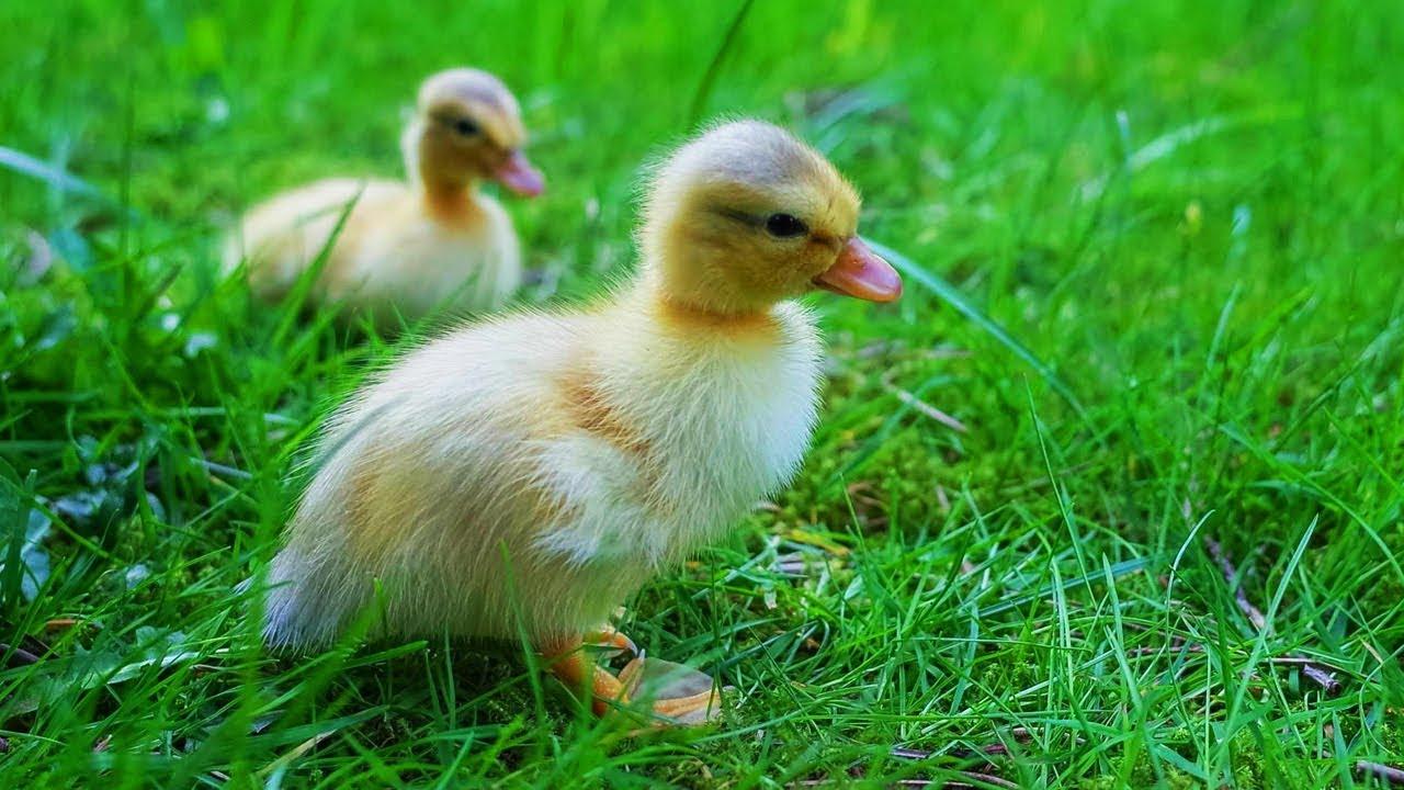 Les Animaux De La Ferme : Le Canard avec Canard Canne