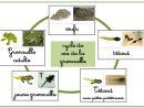 Les Cycles De Vie - Ti'loustics Explorer Le Monde serapportantà Le Cycle De Vie De La Grenouille
