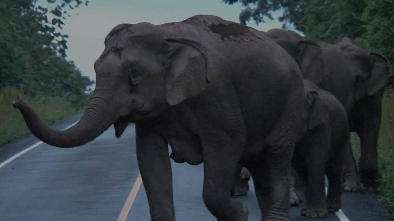 Les Éléphants Communiquent serapportantà Barrissement Elephant