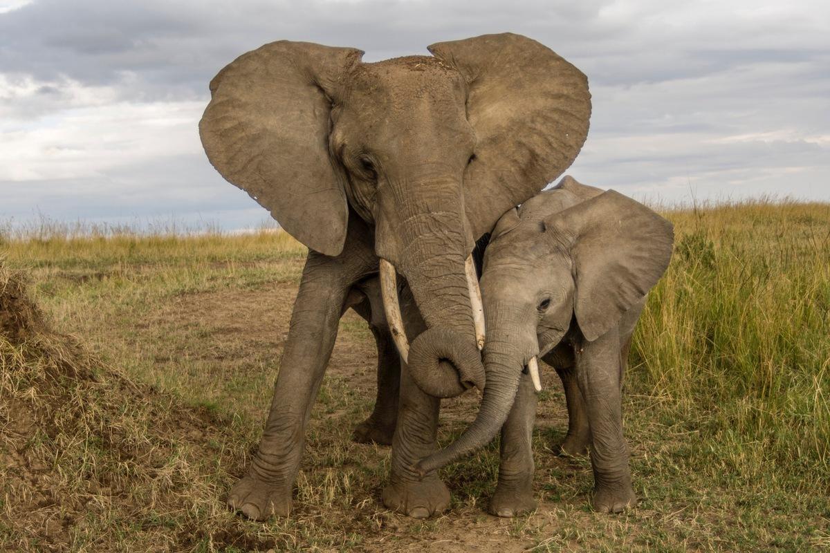 Les Éléphants - One Voice à Barrissement Elephant