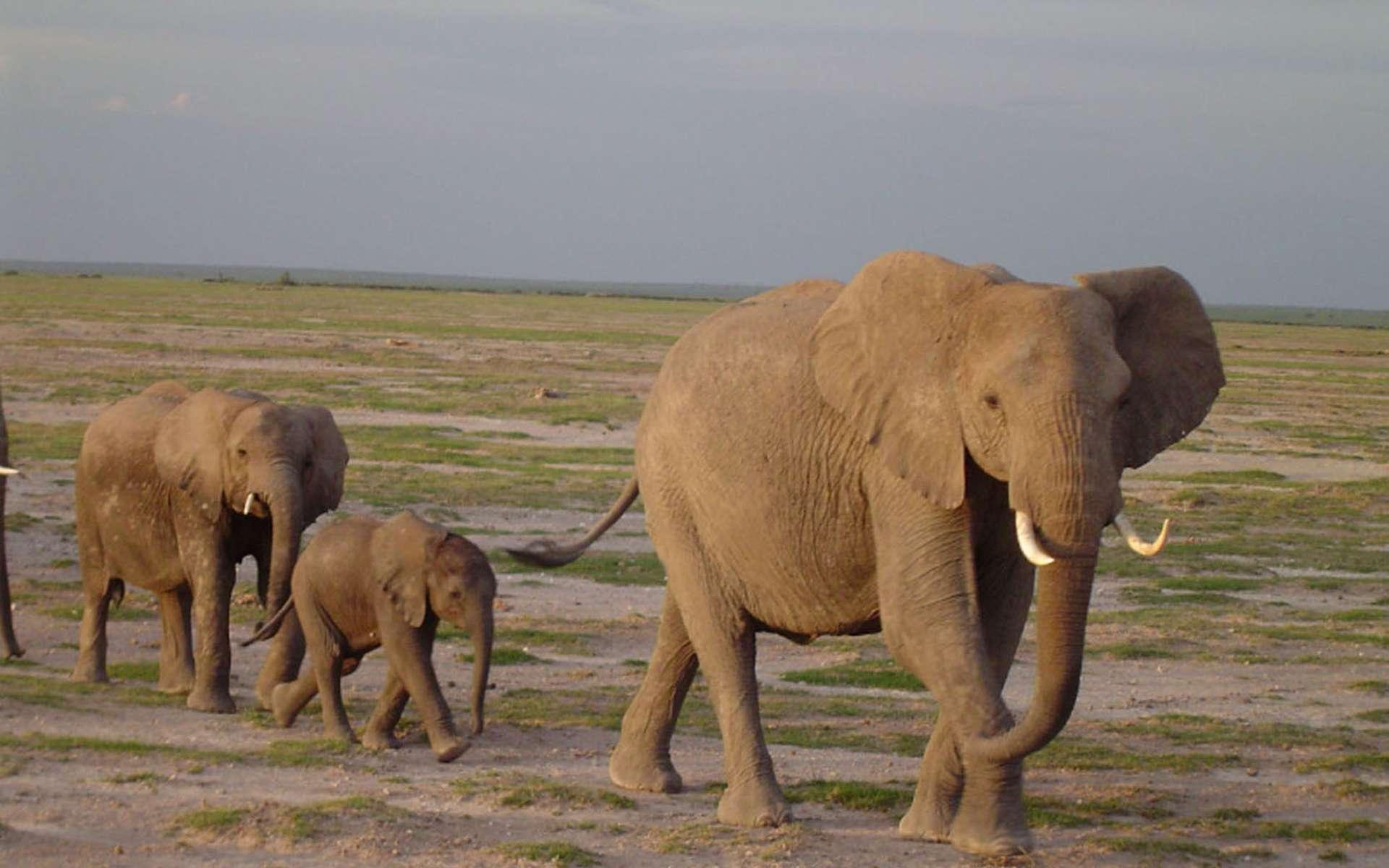 Les Éléphants Produisent Des Sons Inaudibles… Par Vibrations dedans Barrissement Elephant