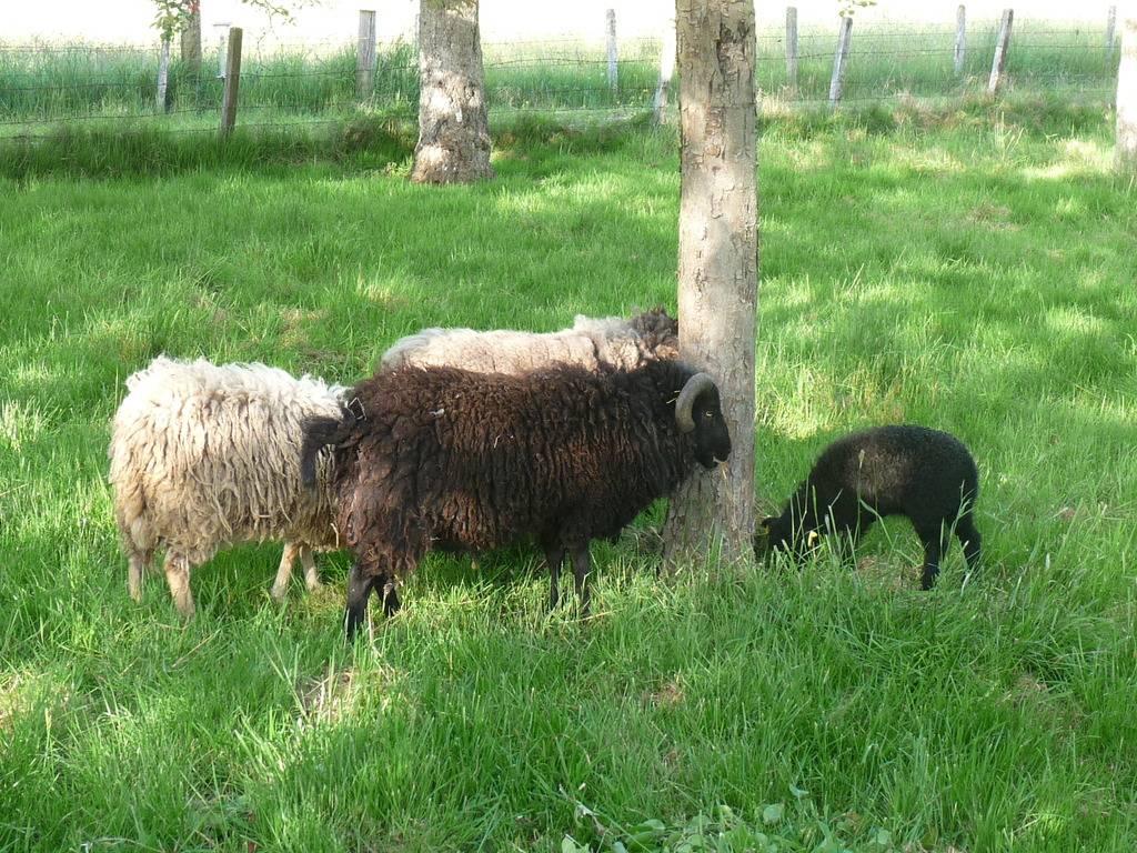 Les Moutons De Royalshadow tout Différence Entre Brebis Et Mouton