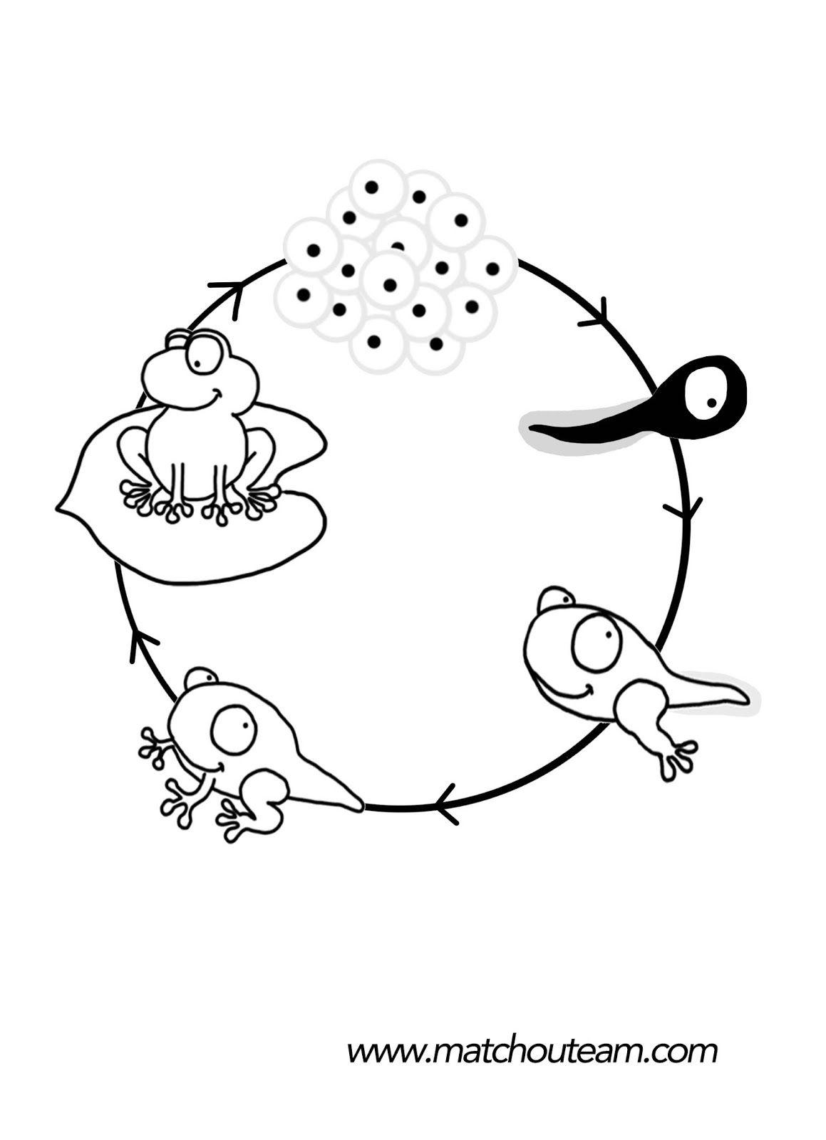 Mini Livre Sur Le Cycle De Vie De La Grenouille | Grenouille destiné Cycle De Vie Grenouille