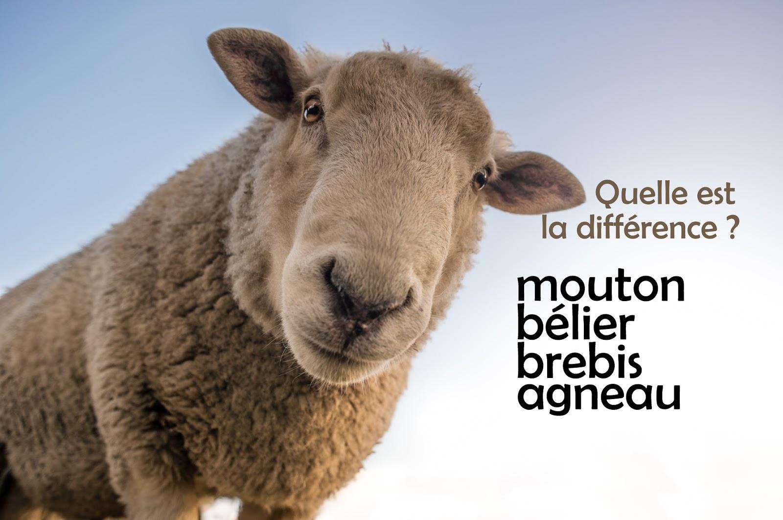 Mouton, Bélier, Brebis Et Agneau : Quelle Est La Différence dedans Différence Entre Brebis Et Mouton