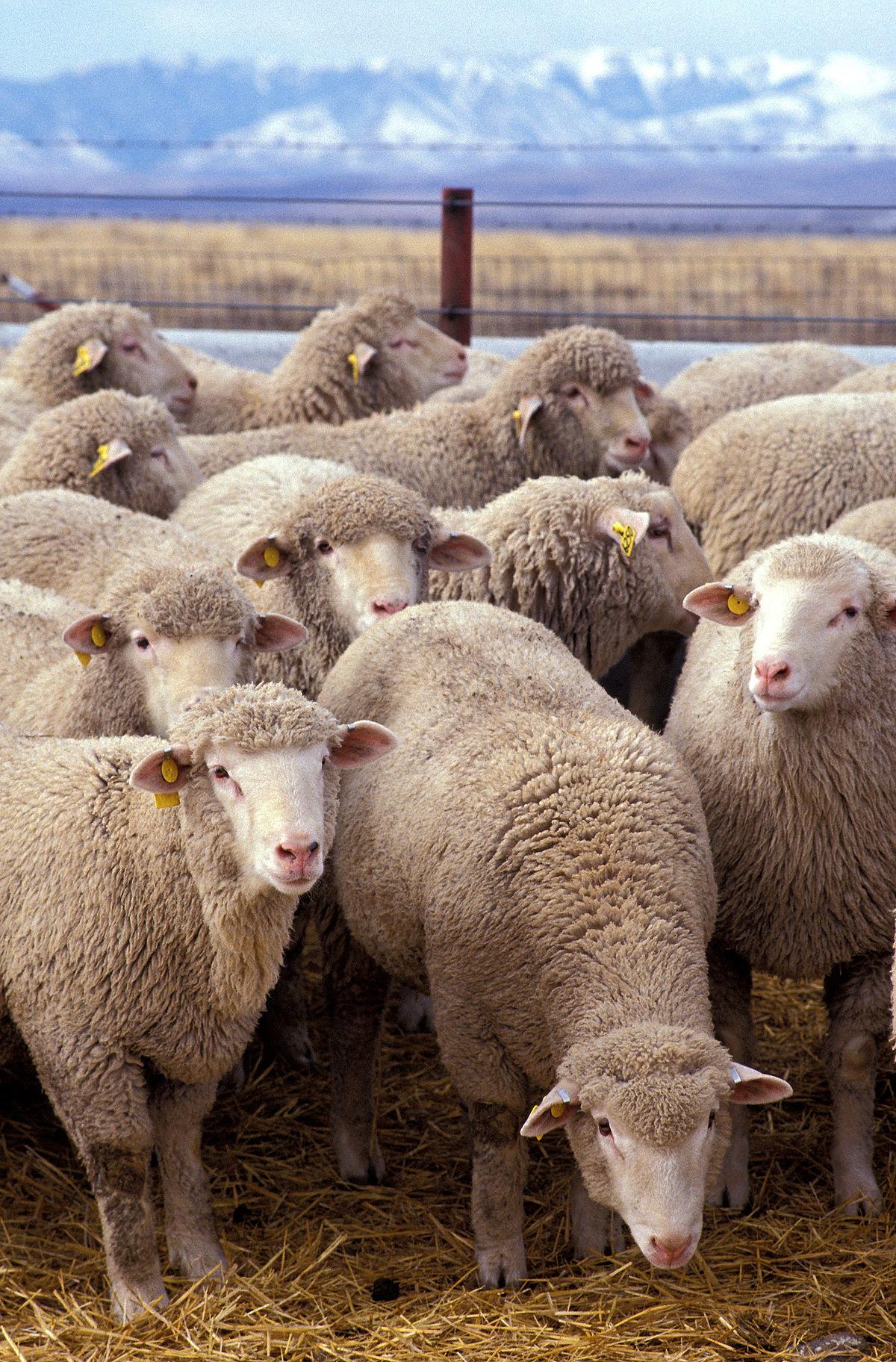Mouton — Wikipédia pour Différence Entre Brebis Et Mouton