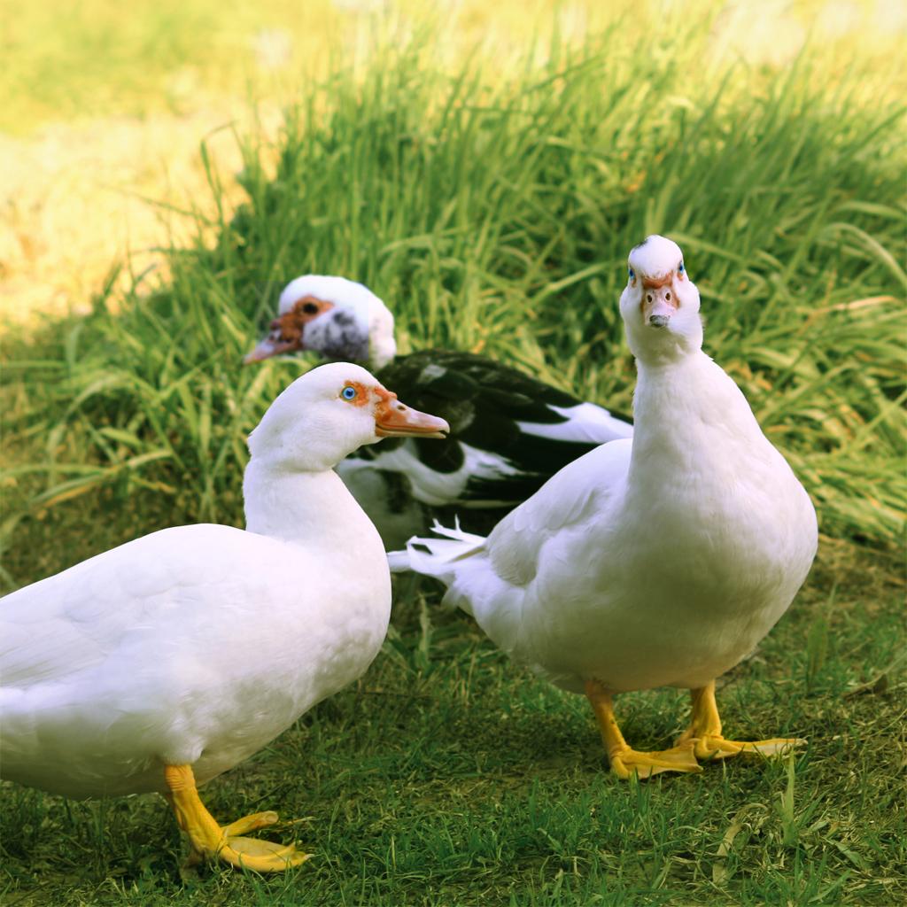 Mulard — Wikipédia destiné Canard Canne