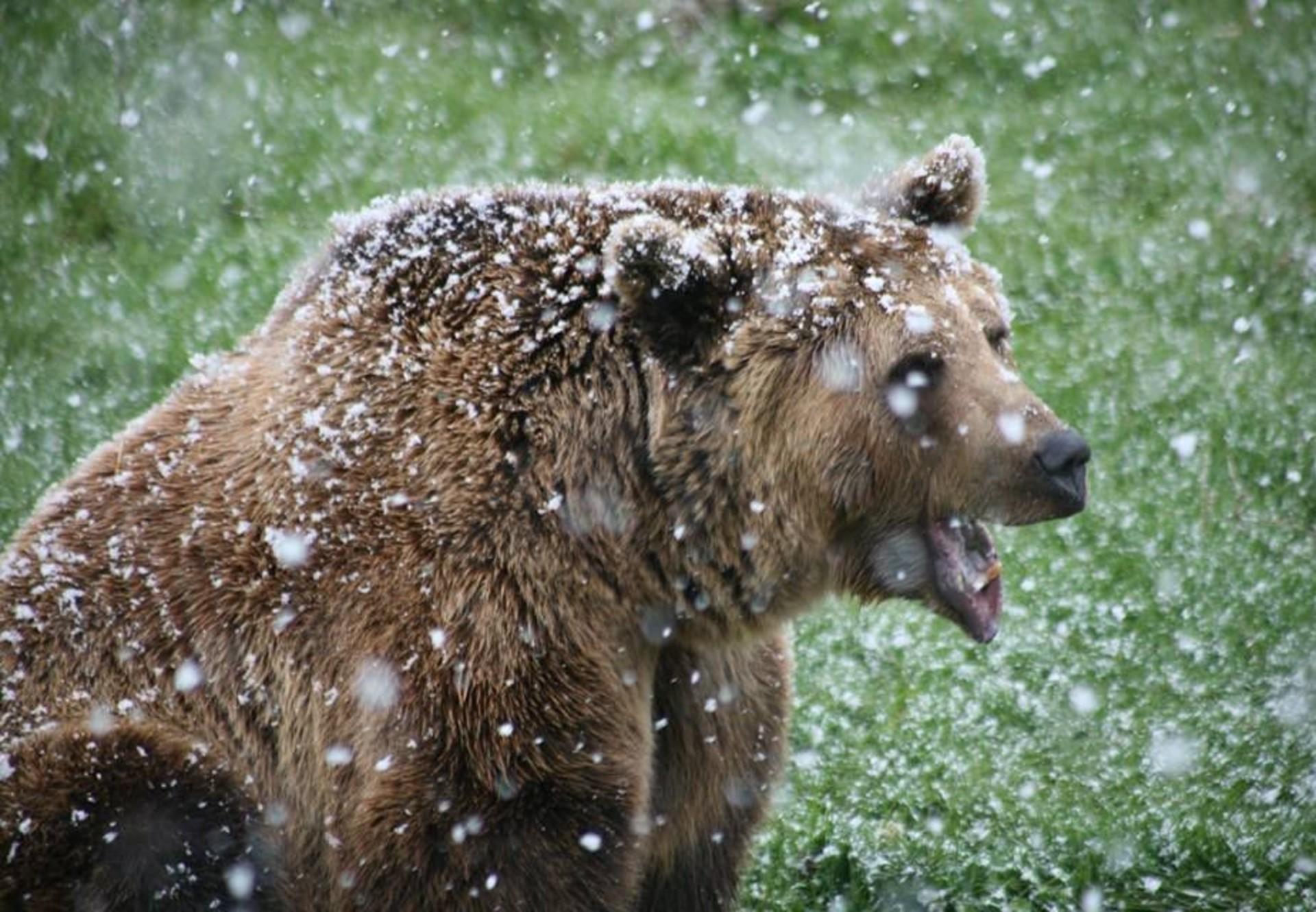 Ours Brun: Hivernation Ou Hibernation? intérieur Animaux Qui Hivernent