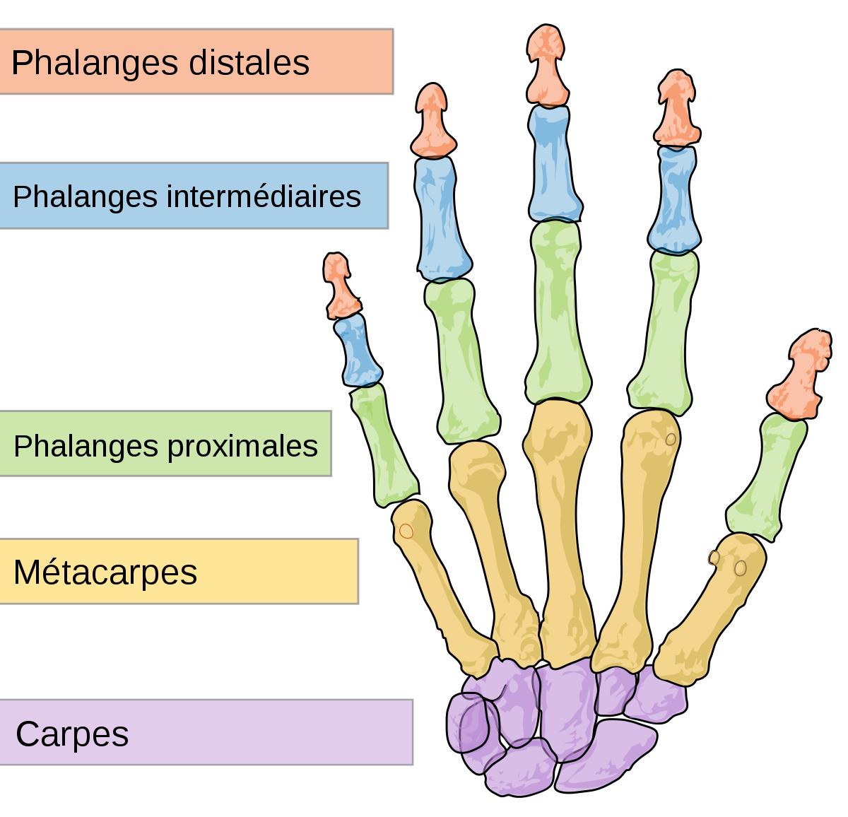Phalange (Os) — Wikipédia à Le Nom Des Doigts De La Main