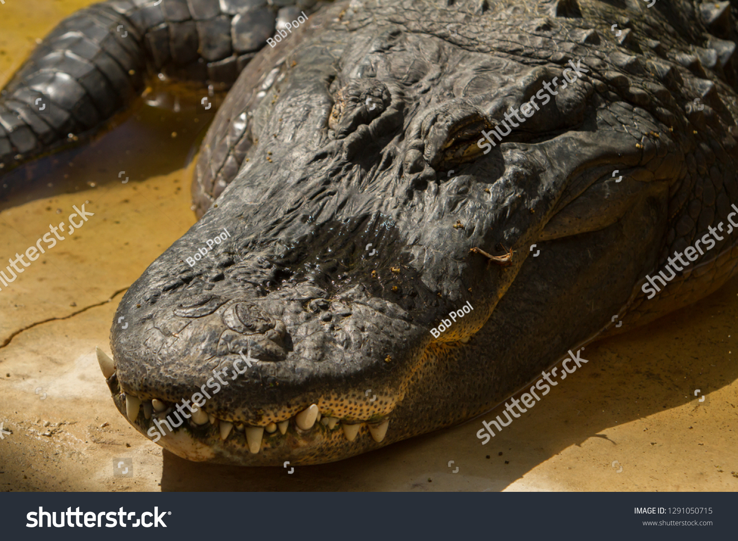 Photo De Stock De American Alligator Alligator avec Mots Gator