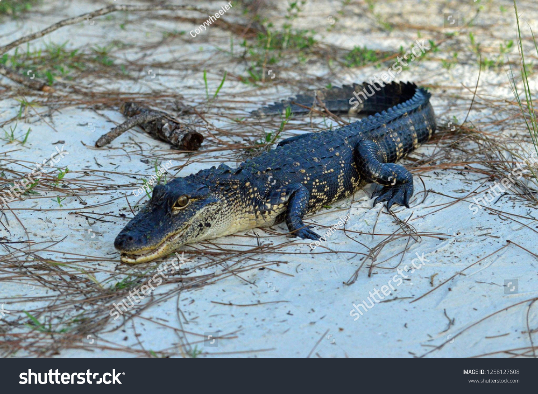 Photo De Stock De Baby Gator Florida (Modifier Maintenant encequiconcerne Mots Gator