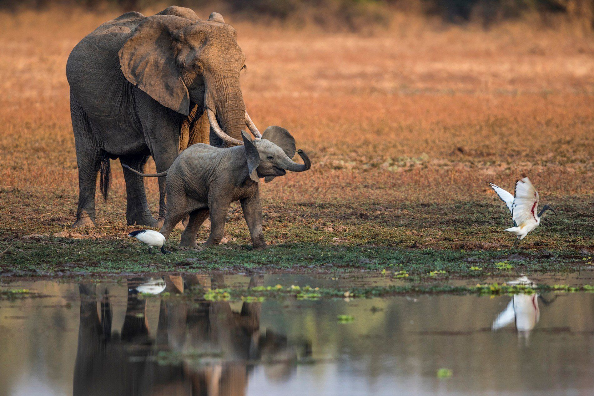 Pour Explorer Le Monde Sauvage, Le Safari Pédestre Reste La avec Barrissement Elephant