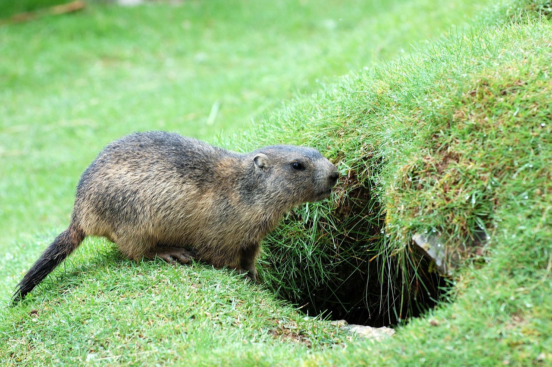 Pourquoi Les Marmottes Hibernent-Elles? - Le Portail Media serapportantà Animaux Qui Hivernent