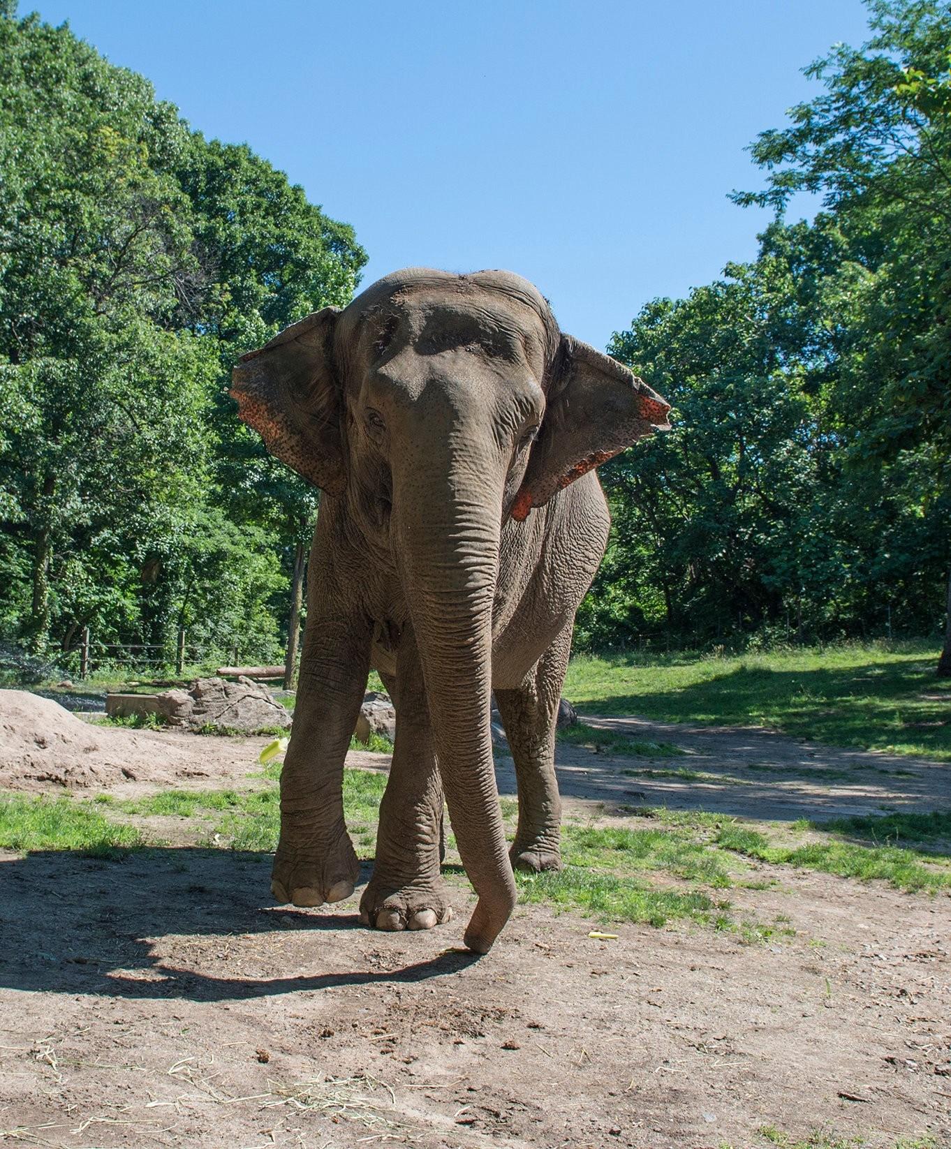 Premier Mandat D'habeas Corpus Émis Au Nom D'un Éléphant pour Femelle De L Éléphant Nom