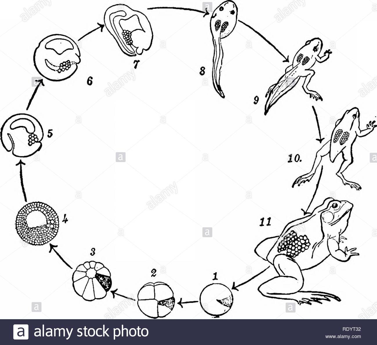 Principes De La Biologie Moderne. La Biologie. L'hérédité destiné Le Cycle De Vie De La Grenouille