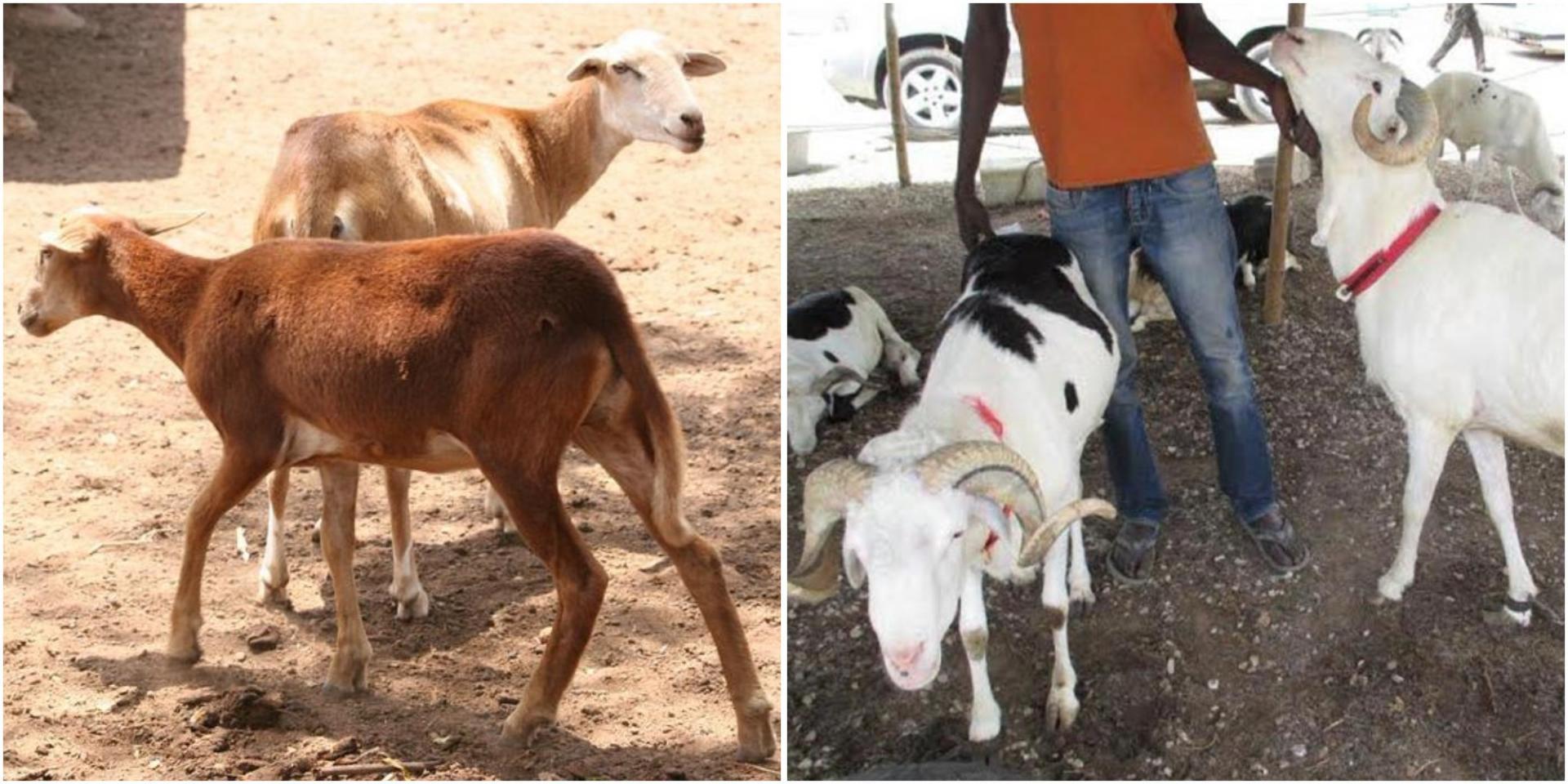 Quelle Est La Différence Entre L'agneau, Le Mouton, La à Différence Entre Brebis Et Mouton