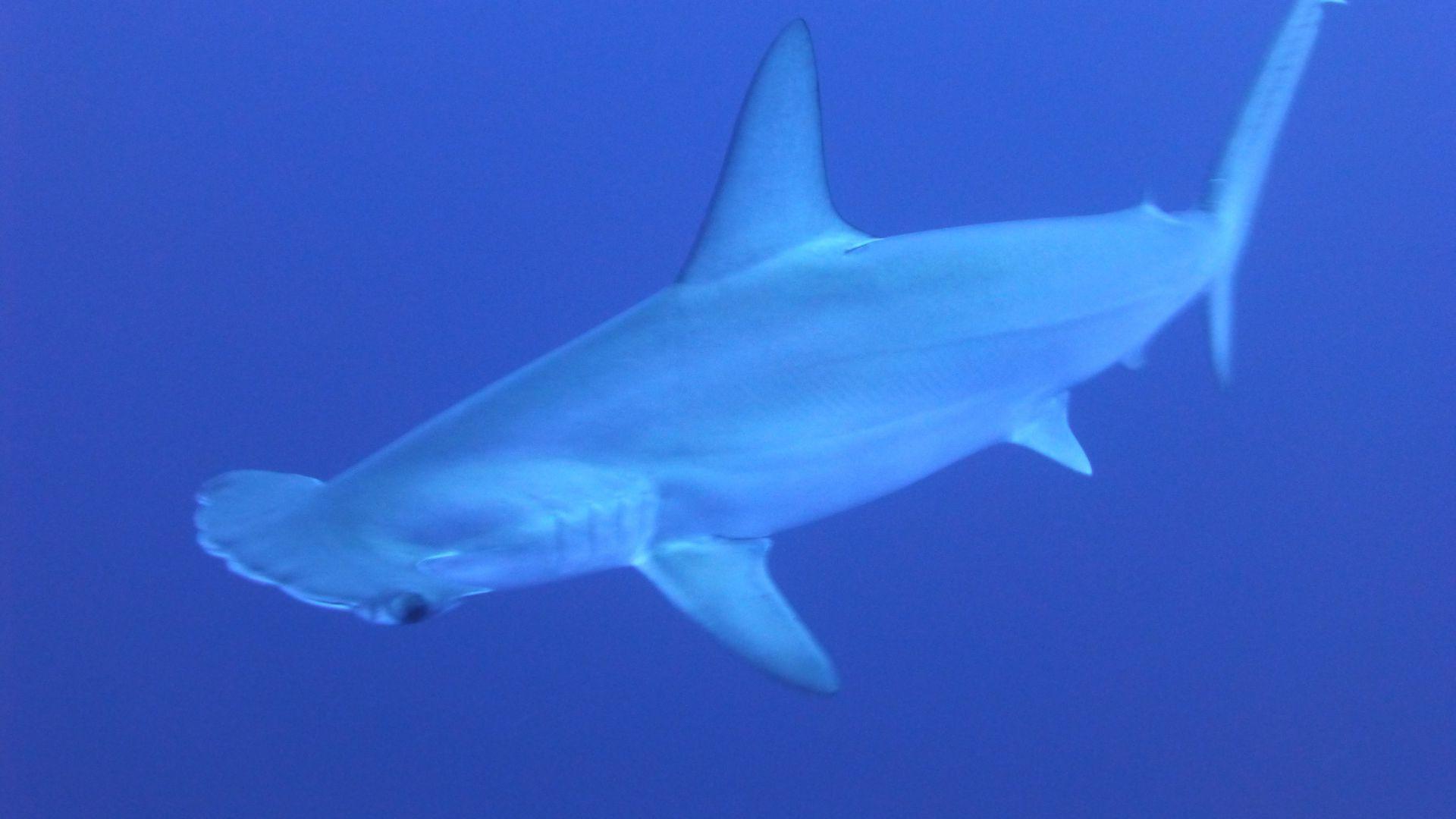 Requin-Marteau Halicorne : Taille, Description, Biotope à Requin Souris